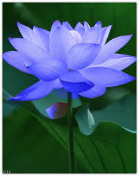 Lotus Flower In Muddy Water - don u0027t try to force anything let life be a deep let go see god
