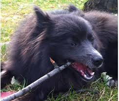 belgian sheepdog rescue illinois a pommy mommy rescue story