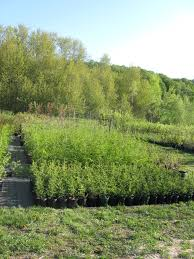native ontario plants native plant nursery not so hollow farm mulmur ontario