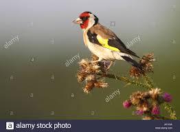 brachfläche goldfinch on a fallow site stieglitz auf einer brachfläche stock