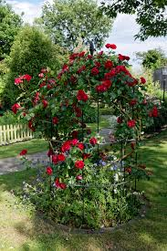file red rose trellised at boreham essex england jpg wikimedia