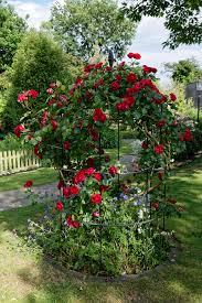 Rose Trellises File Red Rose Trellised At Boreham Essex England Jpg Wikimedia
