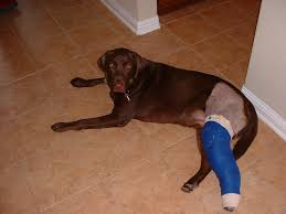 My Knee Hurts When I Go Down Stairs by Should My Dog Or Cat Still Be Limping After Knee Surgery