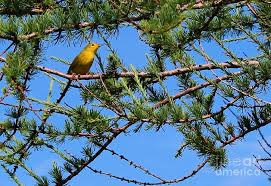 yellow bird in a juniper tree photograph by barbara griffin
