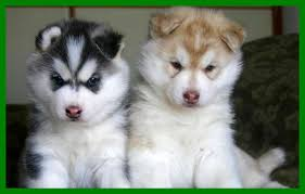 the best different types of siberian huskies husky puppy image cute
