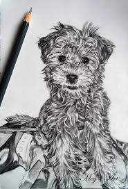 yorkie chon drawing by stardust12345 on deviantart