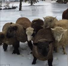 Alpaca Sheep Meme - sheep slip and slide along frozen road daily mail online