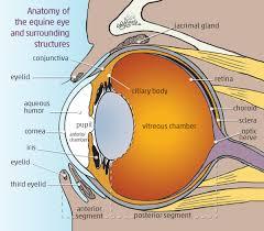 Anatomy Of The Eye Understanding Equine Vision And Eye Disease Horse Journals