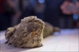 extinct cave lion cub u0027perfect u0027 condition siberia