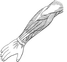flexing arm muscles free download clip art free clip art on