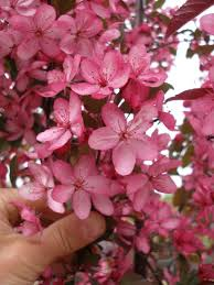 flowering trees johnston s evergreen nursery