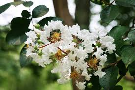 Trees With White Flowers Crape Myrtle Tree Ultimate Guide