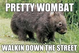 Wombat Memes - like a wombat memes quickmeme