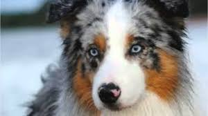 australian shepherd name origin australian shepherd dog breed youtube