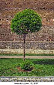 ornamental tree stock photos ornamental tree stock