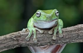 white s tree frog lehigh valley zoo