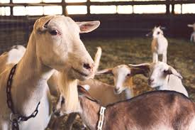 got gym goats welcome to the club by lisbeth darsh eat to