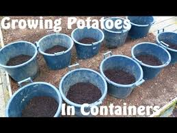 Container Gardening Potatoes - allotment diary harvesting the king edward u0026 golden wonder