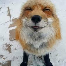 Meme Fox - put me like 盞 so happy finn the rescued fur fox