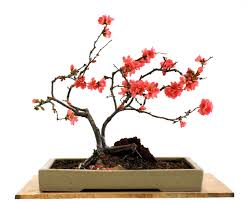 japanese maple bonsai tree bonsai garden ideas garden decorating ideas