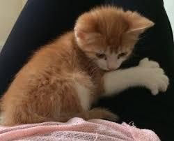 gatti divani come evitare che il gatto graffi il divano miciogatto it