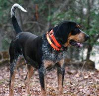 bluetick coonhound kennels in ga echobrook farms bluetick coon hounds