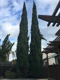 will cutting branches at the base of 50 foot cypress tree kill