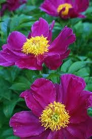 pianese flowers pianese flowers flowers flowers