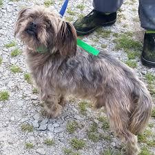 affenpinscher for adoption pet of the week sunday april 30 local news stories