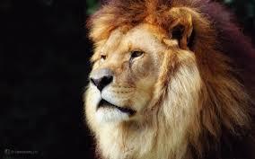 lion in wallpaper wallpaper wide hd
