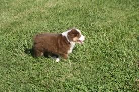 australian shepherd kansas view ad australian shepherd puppy for sale missouri kansas city
