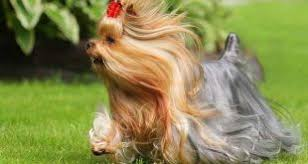 shorkie haircut photos best shoo for yorkies the ultimate yorkie shoo guide