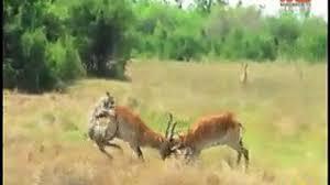 fight between 2 deers in jungle deer attack on tiger
