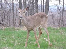 Ohio wild animals images List of mammals of ohio wikipedia JPG