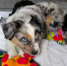australian shepherd jump height ravine acres miniature australian shepherds azura