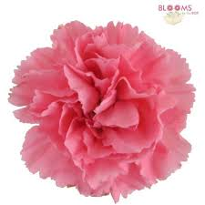 bulk carnations wholesale carnations carnations in bulk bloomsbythebox