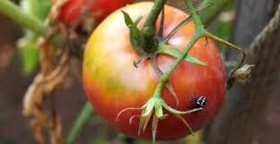 basilico in vaso malattie malattie e parassiti delle piante come riconoscerle sintomi e