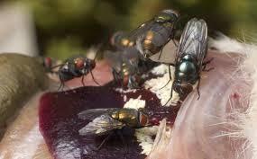 ten reasons why blow flies are stink u0027n awesome bekka s brodie phd