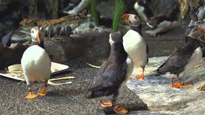 puffins are romantic youtube