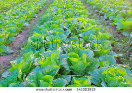 sustainable agriculture stock images royalty free images