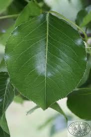 winter hill tree farm chanticleer pear pyrus calleryana chanticleer