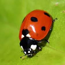 more cool mimicry a ladybug mimicking spider why evolution is true