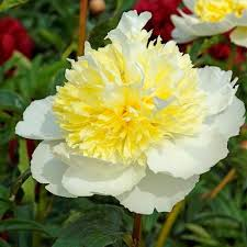 yellow peonies peonies for sale at hill nurseries