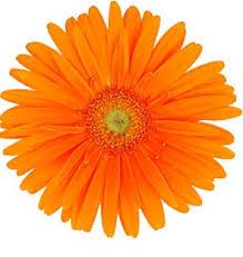 gerbera daisies gerbera orange lt center wedding flowers