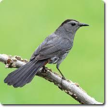 Backyard Wild Birds by Gray Catbird Bird Grey Cats And Wildlife