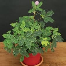 best 25 mimosa plant ideas on acacia sensitive plant