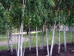 birch trees modern landscape