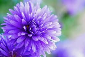 purple flower herbstaster purple flower free photo on pixabay