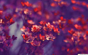 hd cherry blossom wallpaper