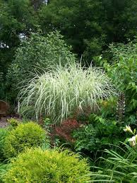 311 best ornamental grasses images on ornamental